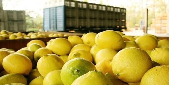 Elaboran miel de azahar de limón agricultores tucumanos