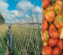 13° Fiesta del Tomate Platense