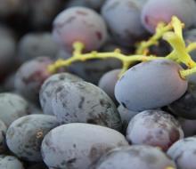 Uvas de Mendoza y San Juan, delicias de exportación